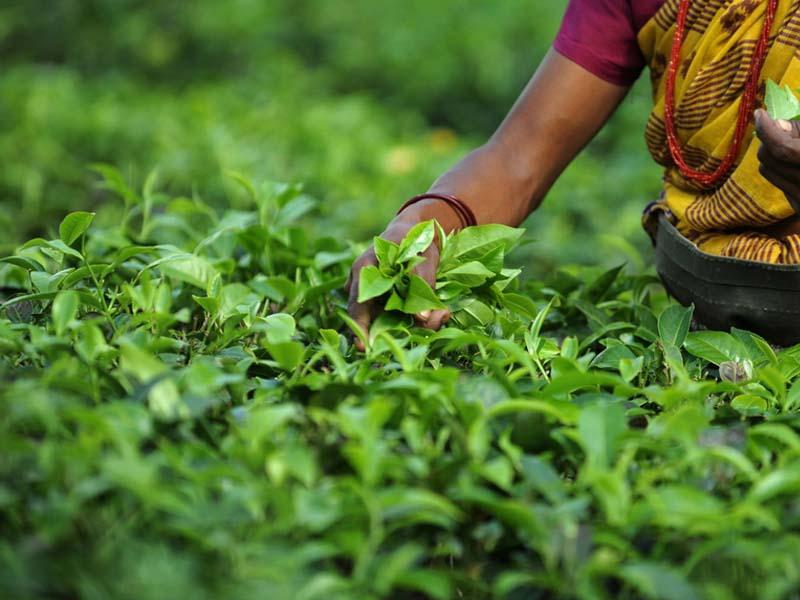 tea garden  bangladesh ispahani group  companies